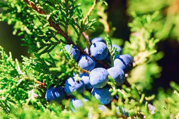 Juniper berries on the branch.
