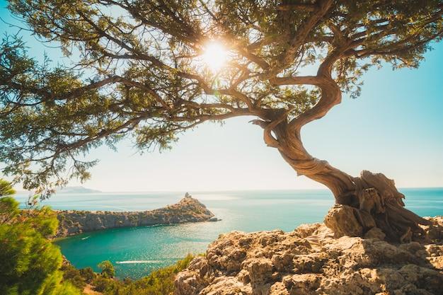 Дерево можжевельника бонсай на краю обрыва с солнцем в ветвях