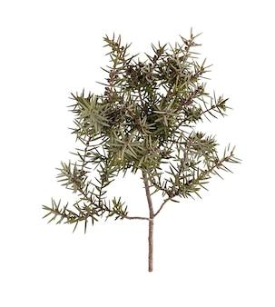 ジュニパーの枝(juniperus oxycedrus)は白で分離します