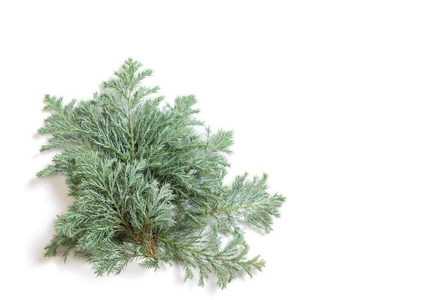 흰색 배경에 고립 된 주니퍼 가지