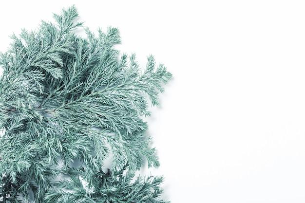 Ветви можжевельника на белом фоне