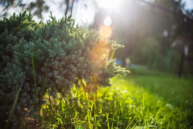 저녁 태양 광선으로 정원에 있는 주니퍼 덤불.