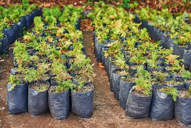 植物店のジュニパーの茂み。園芸用の様々な緑のトウヒ植物の苗床。
