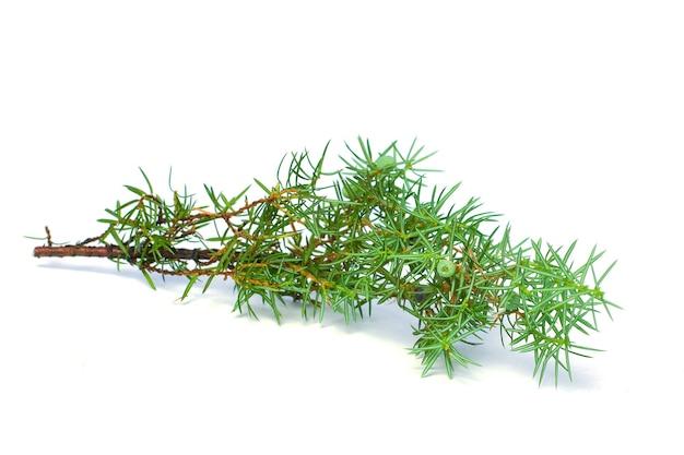 Зеленая ветка можжевельника, изолированные на белом фоне