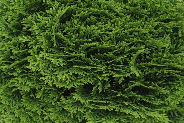 Зеленая текстура можжевельника