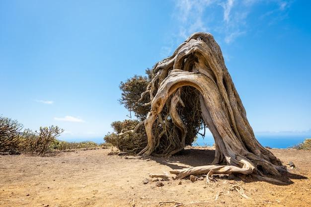 Juniper tree bent by wind in el hierro, canary islands