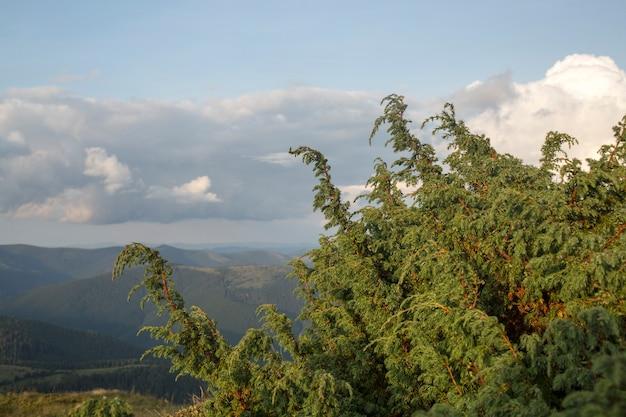민간 요법에서 일반적으로 사용되는 야생 숲 환경의 주니퍼 나무(juniperus procera)