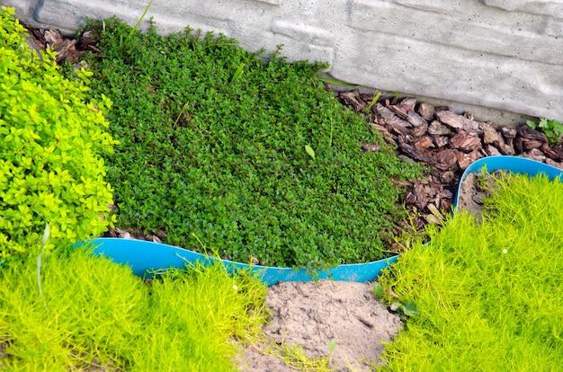 Предпосылка текстуры дерева можжевельника. вечнозеленый хвойный можжевельник зеленая ветвь крупным планом. знамя