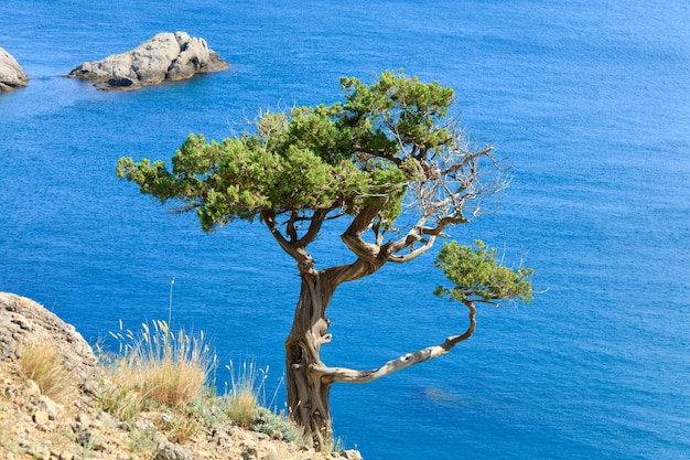 Juniper tree on rock on sea surface background (