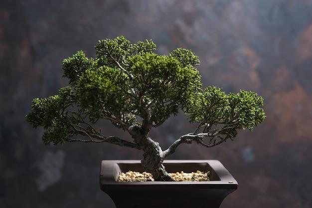 Бонсай juniperus chinensis