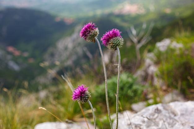 カルドデルカルソと呼ばれるイタリア語のジュリネアモリスの花