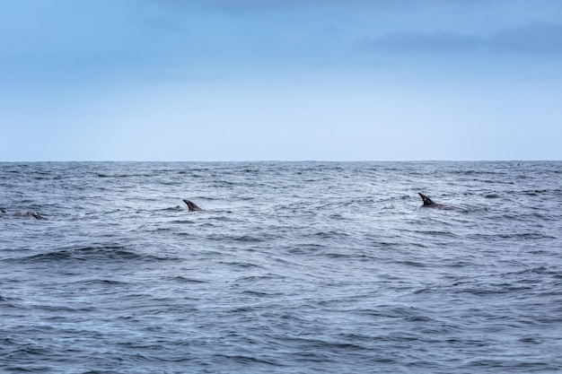 Just two fins. two dolphins in the pacifi ocean
