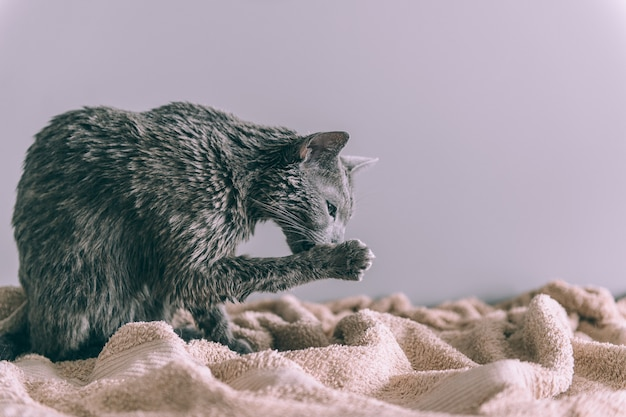 Just washed funny wet furry cute kitten after bath licking itself on gray wall