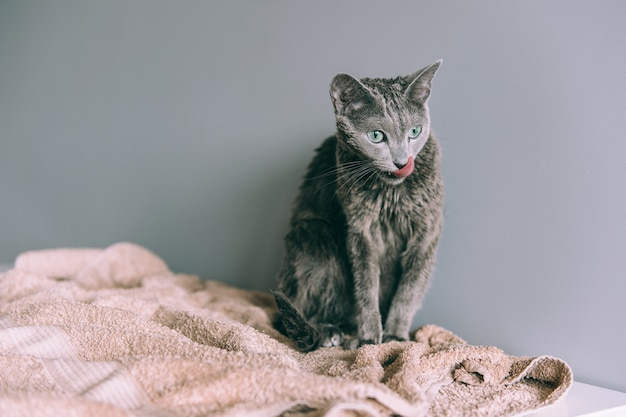 Just washed funny wet furry cute kitten after bath sitting itself on gray wall