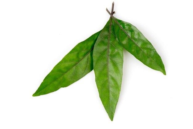 Зеленые листья justicia gendarussa, изолированные на белом фоне. вид сверху, плоская планировка.