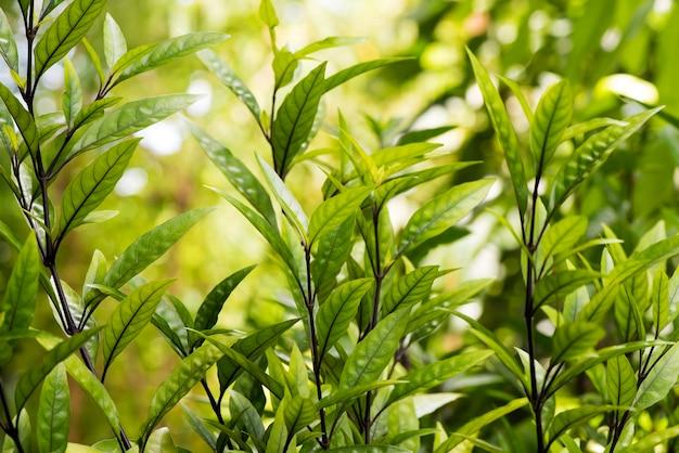 Деревья justicia gendarussa и зеленые листья на фоне природы