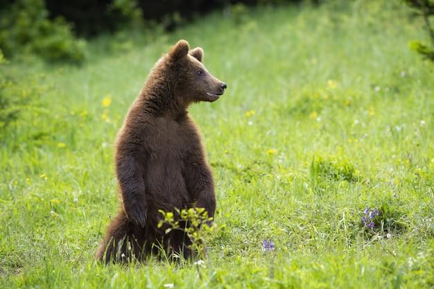 Ювенильный бурый медведь стоя на задних ногах на луге в летнем времени.