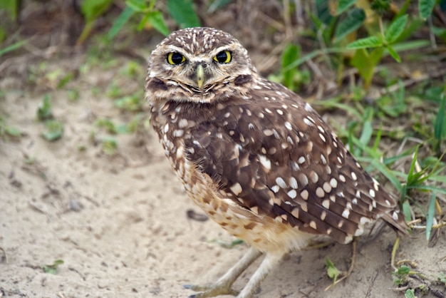 Juvenile of burrowing owl near the burrow