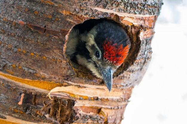 Молодой большой пестрый дятел смотрит из дупла гнезда