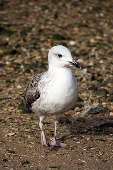 Юношеская чайка идет по песчаной галечной пляжной береговой линии.