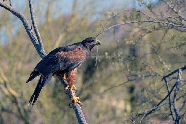 Juvenile harris's hawk perched in a tree in arizona