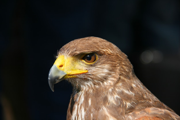 Juvenile honey buzzard head