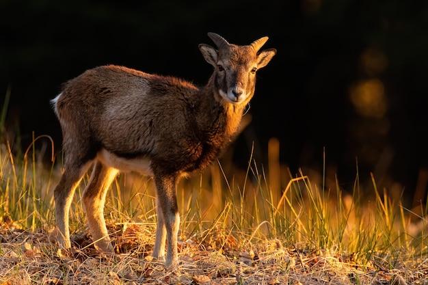 Молодой муфлон стоит на поле в осенний золотой час