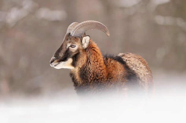 Juvenile mouflon staring on snow in wintertime nature.