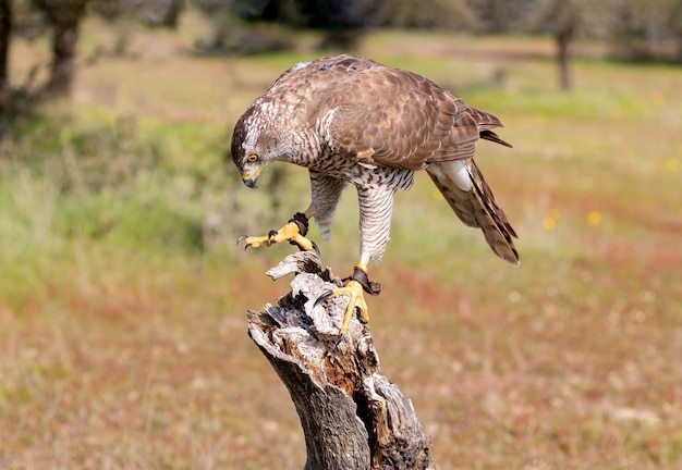 Juvenile northern goshawk, perched on a bough with space for copy