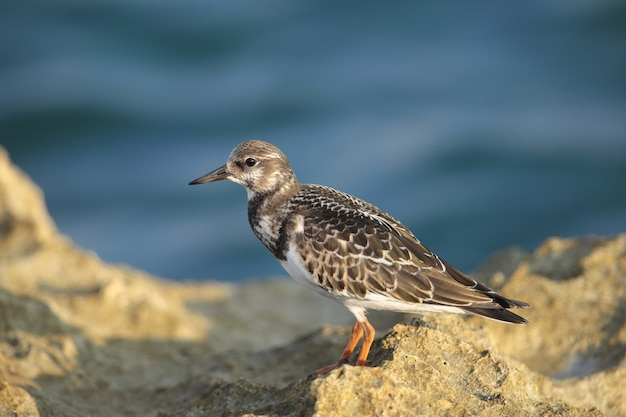 Turnstone giovanile ruddy arenaria interpres