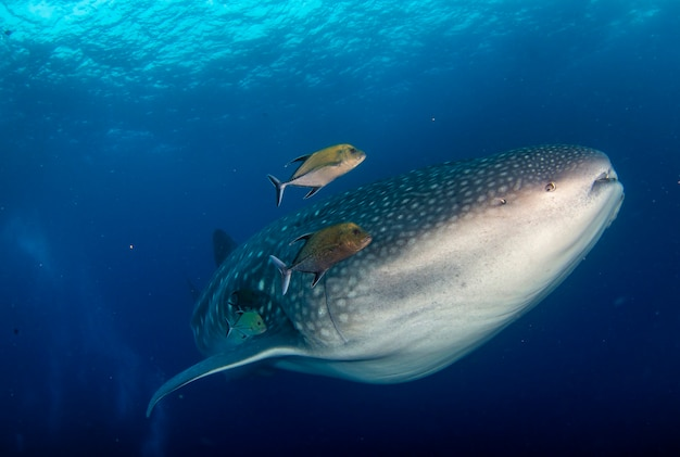 Juvenile whale shark (rhincodon typus) swimming in tropical underwaters. whale shark in underwater world. observation of wildlife ocean. scuba diving adventure in ecuador coast of galapagos