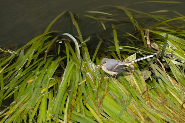 Juvenile yellow wagtail (motacilla flava) walking on green leaves on the river rother in midhurst