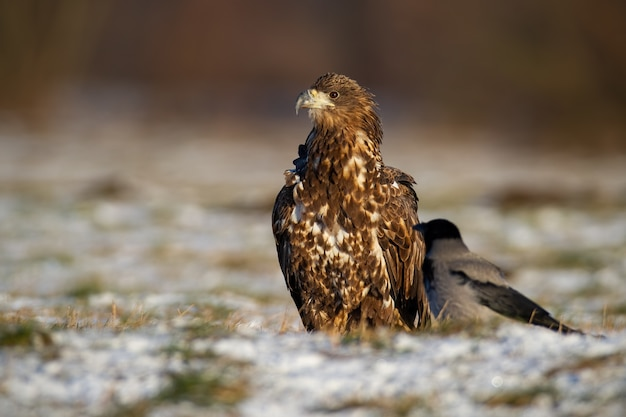 Juvenille white-tailed eagle, haliaeetus albicilla, sitting on white grass in winter.