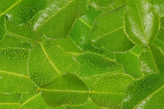 Kaffir lime leafs a drop of water background
