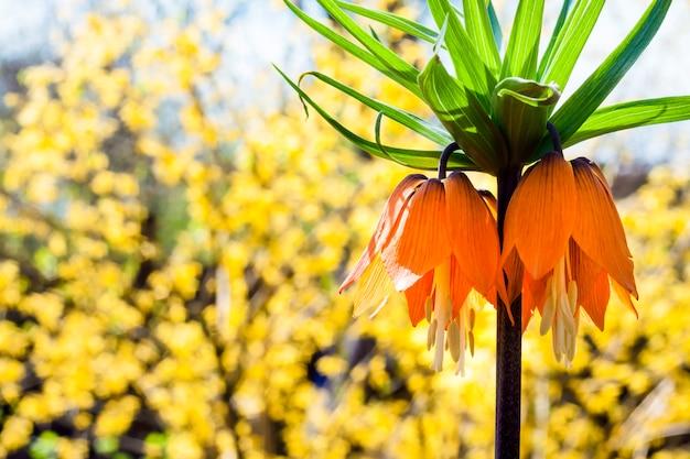 Kaiser's crown (fritillaria imperialis) flower on blooming forsythia