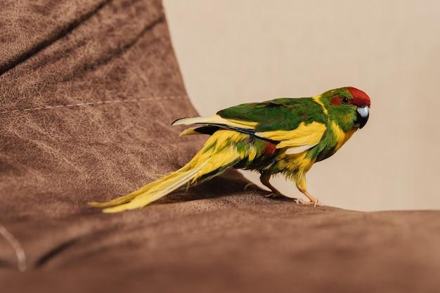 카카리키. 붉은 왕관 앵무새. 시아노람푸스. 소파 가장자리에 집 앵무새.