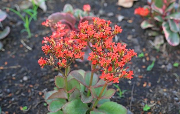 Kalanchoe blossfeldiana(crassulaceae kalanchoe) flower in the garden