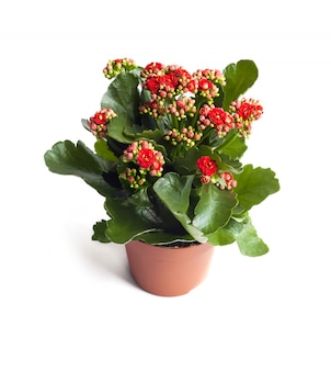 Kalanchoe flower in pot isolated