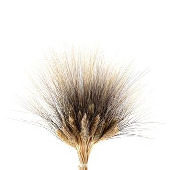 Камут хорасан пшеница, изолированные на белом.