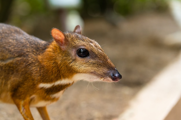 Kanchil is an amazing cute baby deer from the tropics. mouse deer is one of the most unusual animals