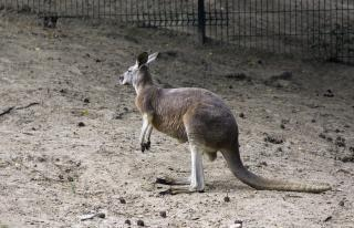 Kangaroo, creature