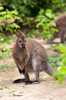 Kangaroo red-necked wallaby in a clearing