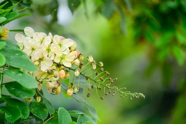Kanikkonna - золотой дождь, cassia fistula, цветение в дереве.