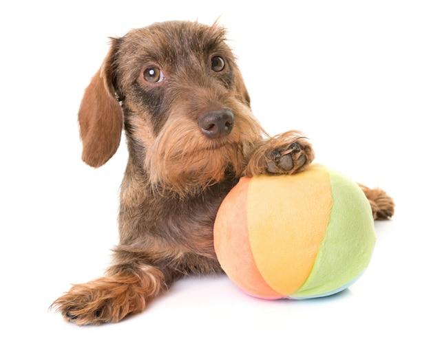Kaninchen wire-haired dachshund