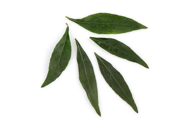 Kariyat or andrographis paniculata, green leaves isolated on white.top view,flat lay.