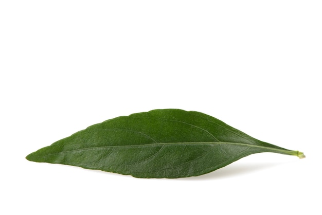 Kariyat or andrographis paniculata, green leaves isolated on white.
