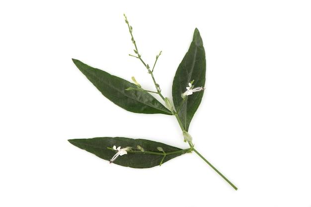 Kariyatまたはandrographispaniculata、枝の花と緑の葉が白で分離されました。