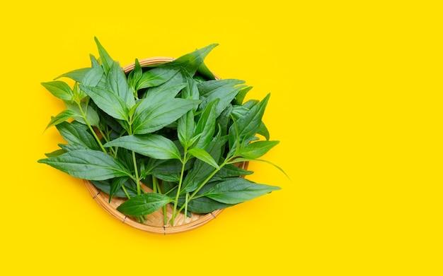 노란색 배경에 대나무 바구니에 카리야트 또는 안드로그라피스 파니쿨라타 녹색 잎.