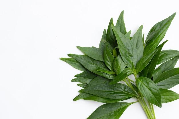 Kariyat 또는 andrographis paniculata 녹색 잎은 흰색 배경에 있습니다.