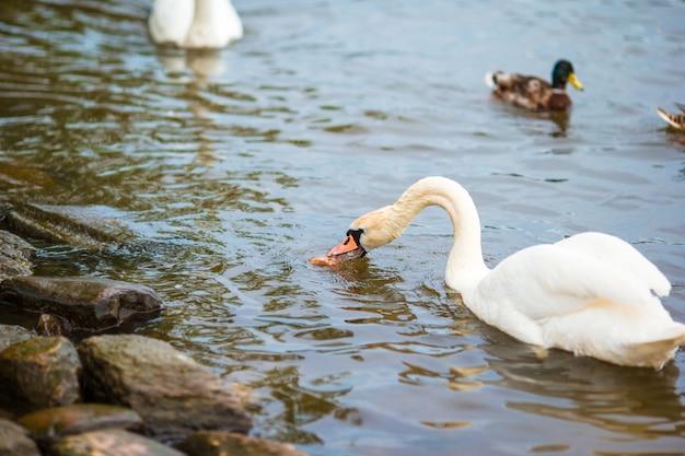 背景にプラハ川ヴルタヴァ川とカレル橋の美しい白鳥。 karluv mostと白鳥